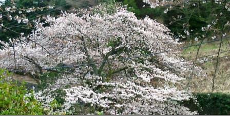 20140331 桜2