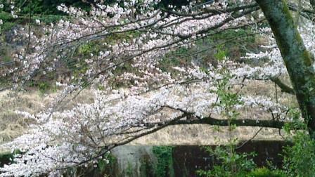20140331 桜1