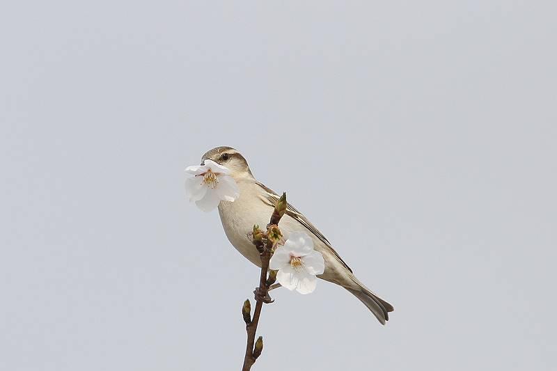 ニュウナイスズメ雌2