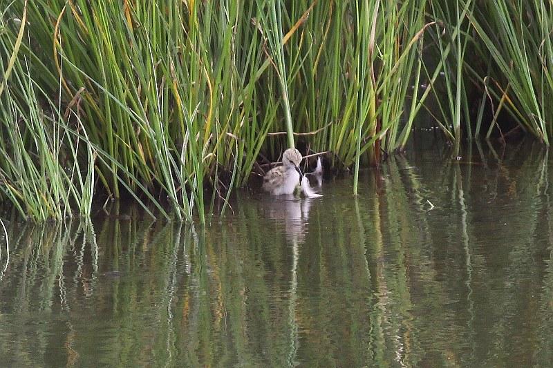 セイタカシギ雛2羽で遊ぶ_S