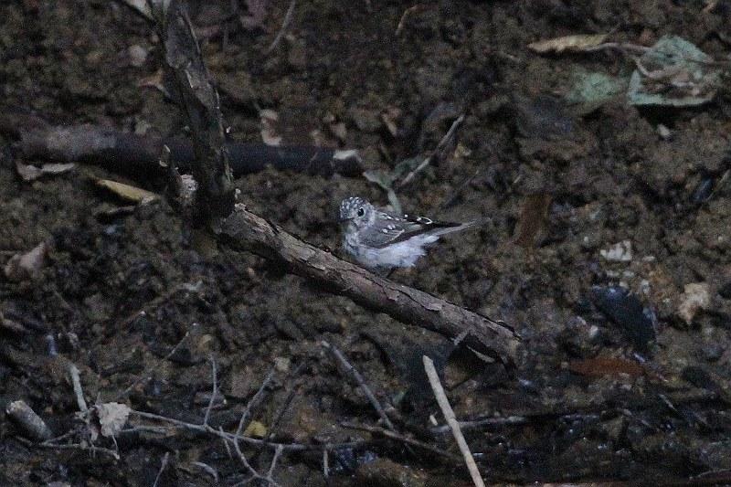コルリ幼鳥1_S