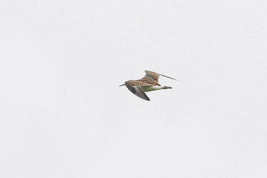 エリマキシギ 飛び1_S