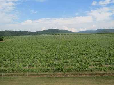 登町のワインブドウ畑 07-11-13 073