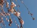 sakura+030_convert_20140331104519.jpg