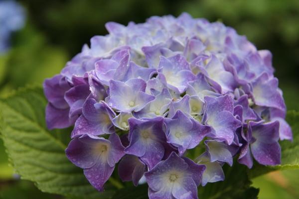 IMG_4001紫陽花紫陽花と犬