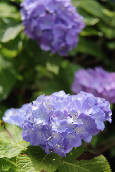 IMG_4018紫陽花紫陽花と犬