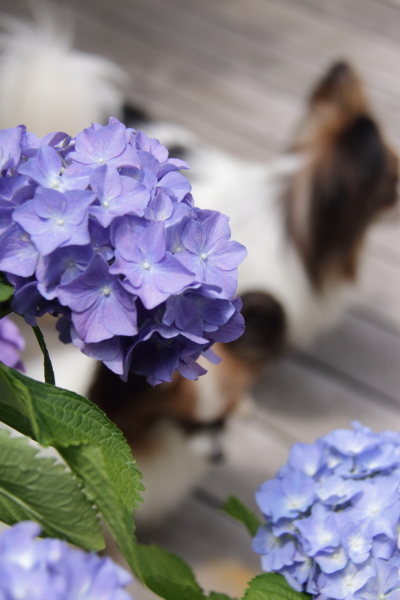 IMG_4028紫陽花紫陽花と犬