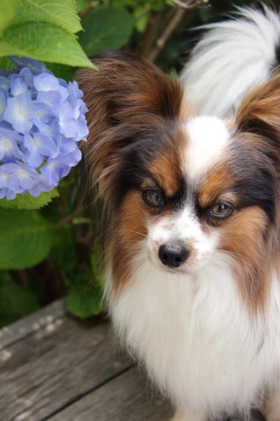 IMG_4023紫陽花紫陽花と犬