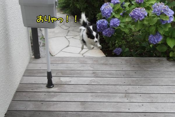 IMG_9779紫陽花紫陽花