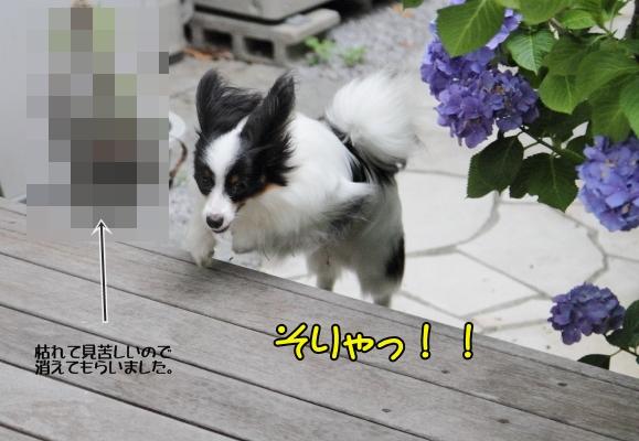 IMG_9785紫陽花紫陽花