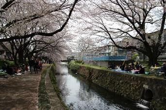 4/5 引地川の千本桜始まり