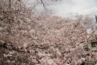 4/5 千本桜