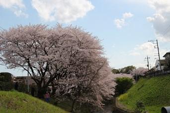 4/5 引地川の千本桜終わり