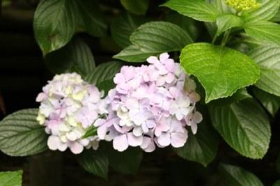 6/28 御霊神社のアジサイ
