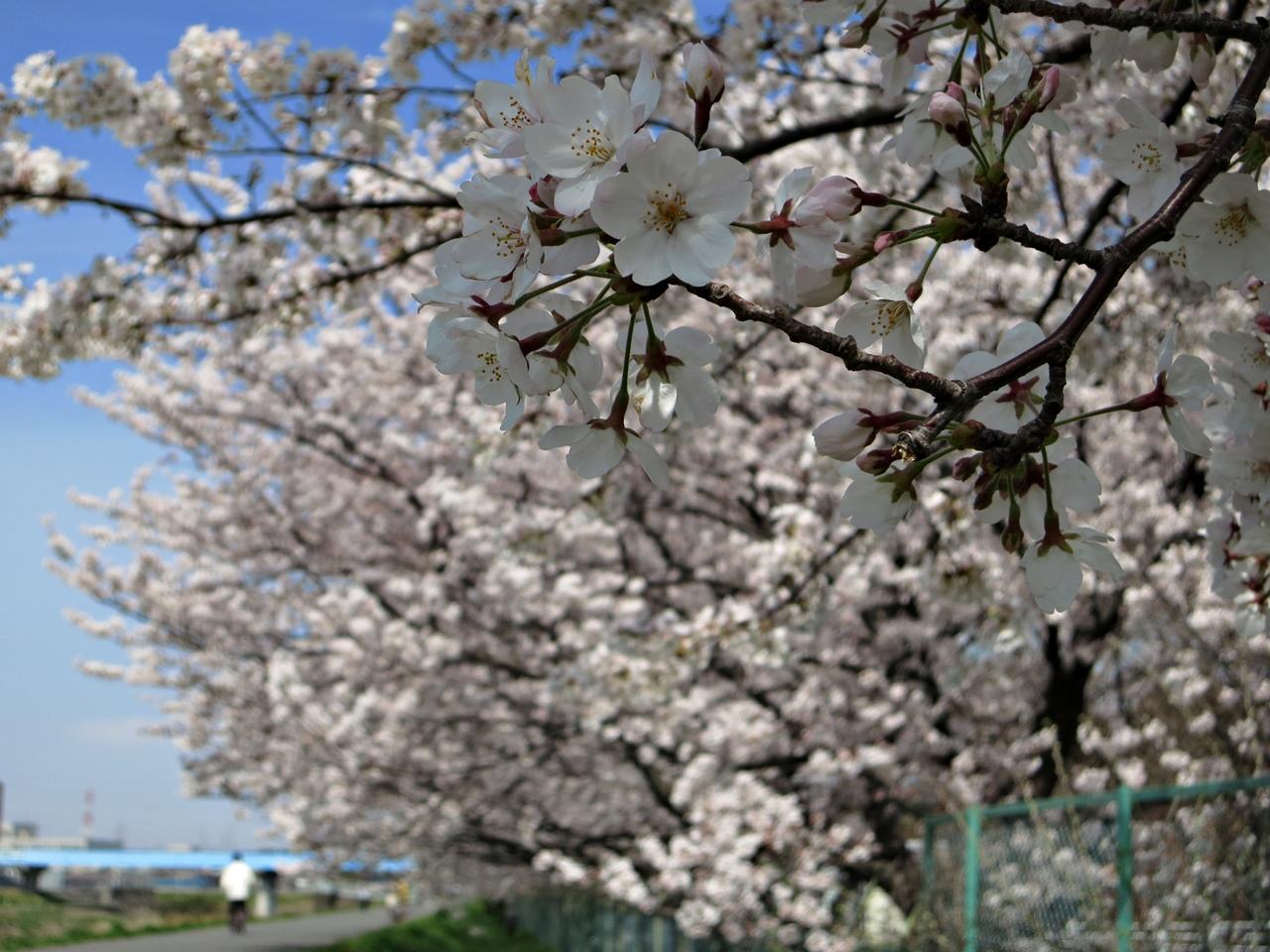 140401桜-3