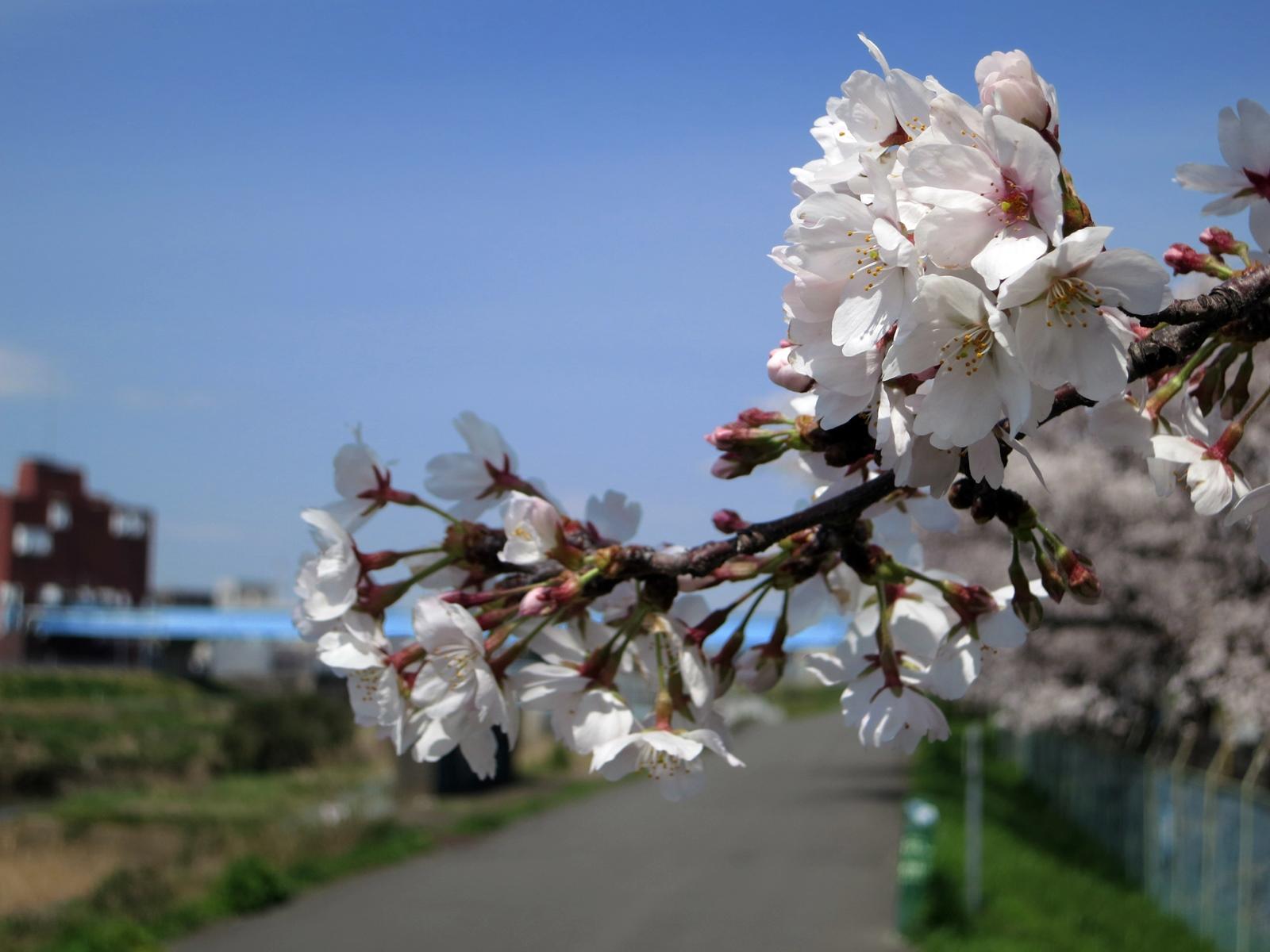 140401桜-5