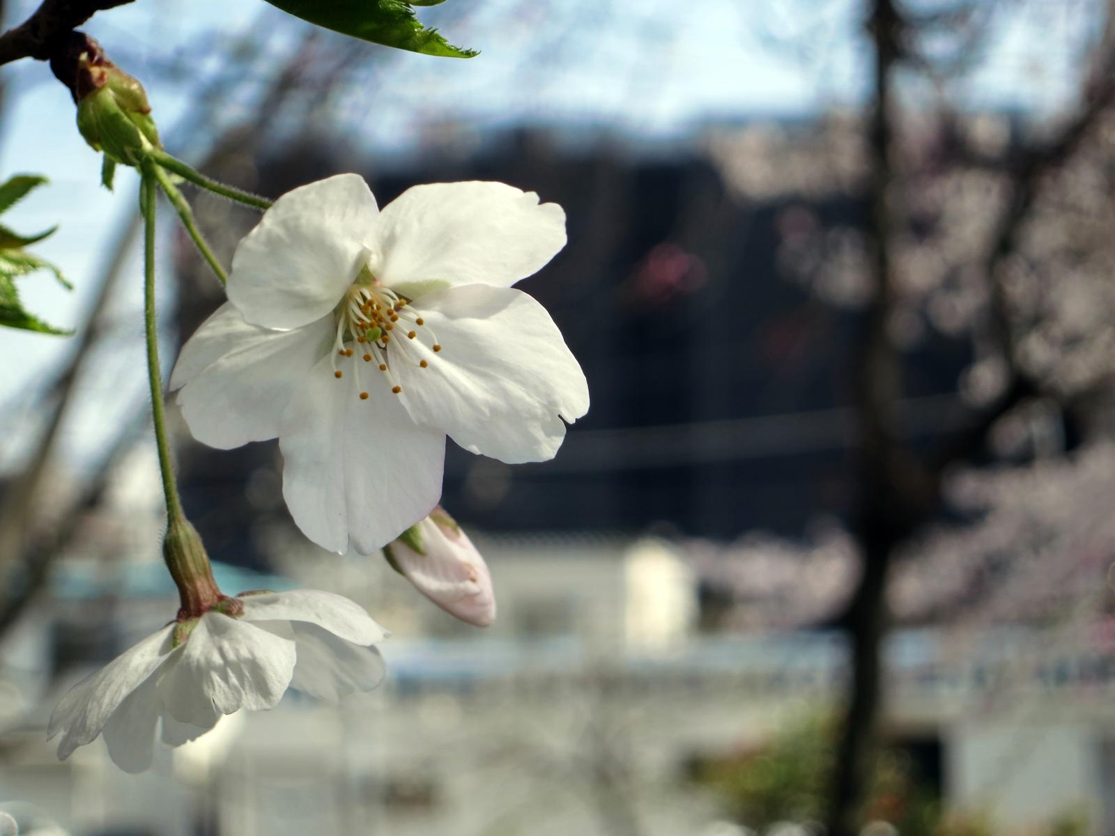 140401桜-9
