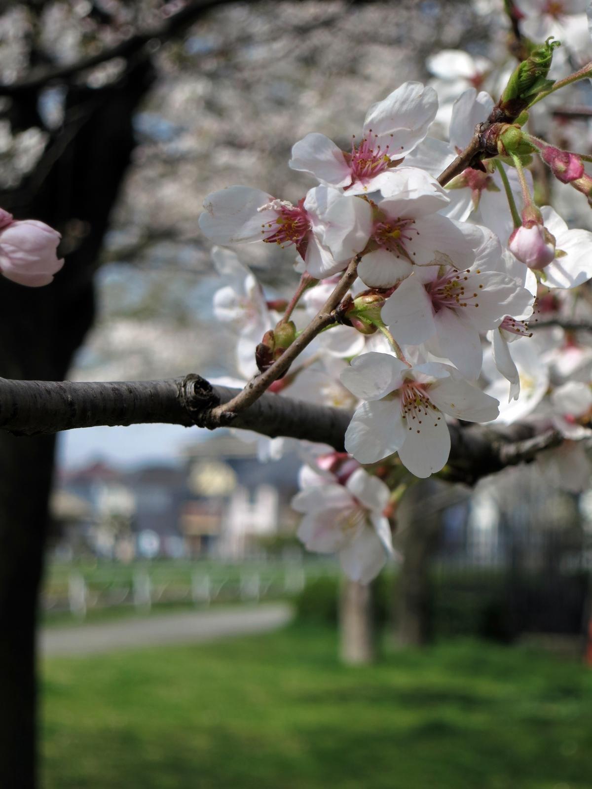 140401桜-10