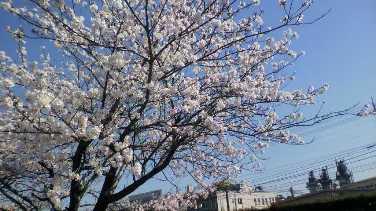 20140404 桜①