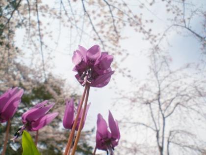 sakurabayasi14_12.jpg