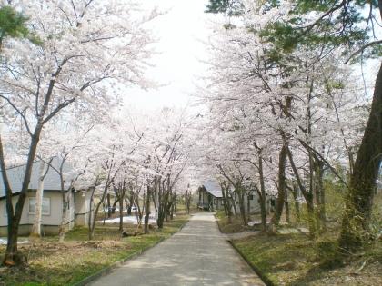sakurabayasi14_3.jpg