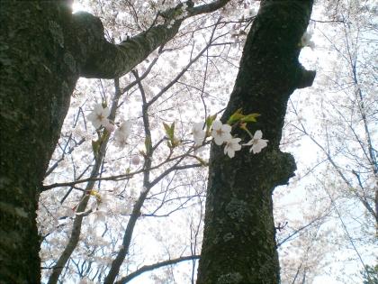 sakurabayasi14_8.jpg