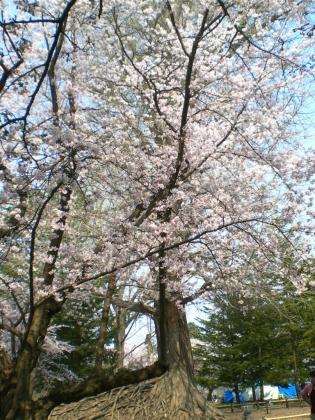 sakuramaturi140426_18.jpg