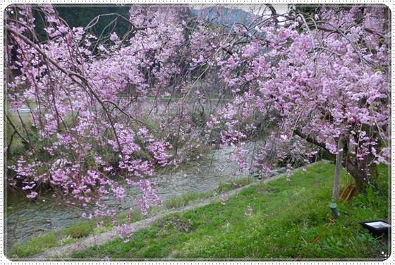 2014,4,17枝垂桜5