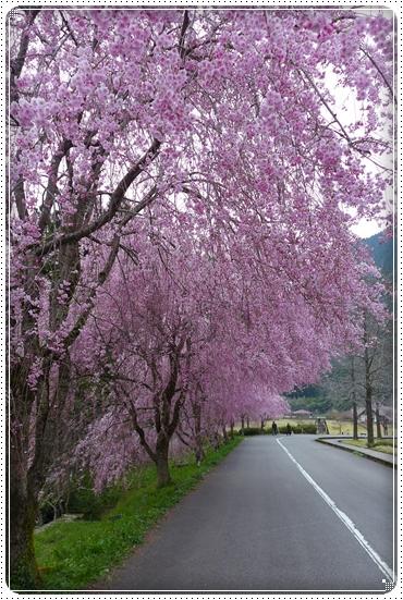 2014,4,17枝垂桜2