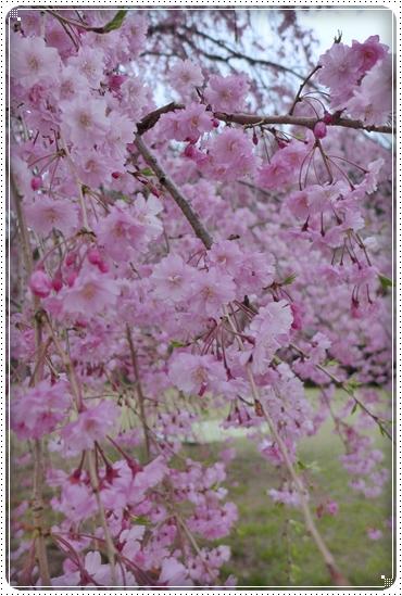 2014,4,17枝垂桜8
