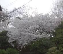 2014年春西田公園桜
