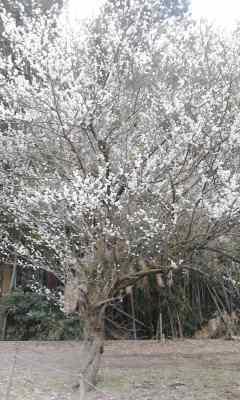 梅が満開20140301_0829