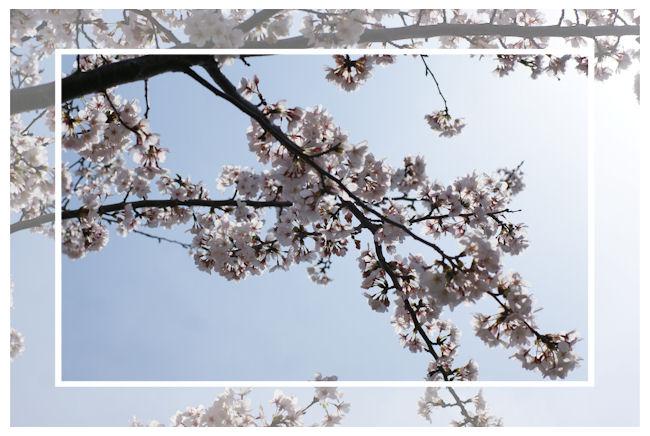 DSC06629-sakura.jpg