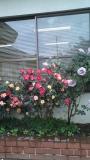 roseencasa.jpg