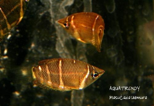 chogura Sphaerichthys osphromenoides