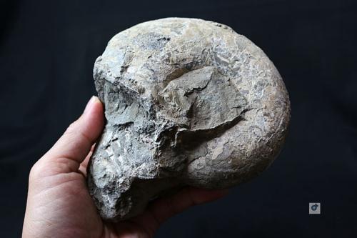 anmonite.jpg