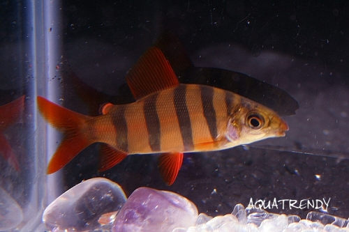 short_nose_crown_t_distichodus_sexfasciatus.jpg