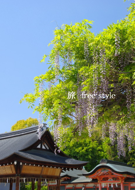 春日神社 藤