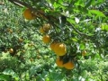 松元果樹園
