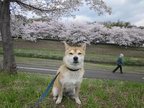 14桜25