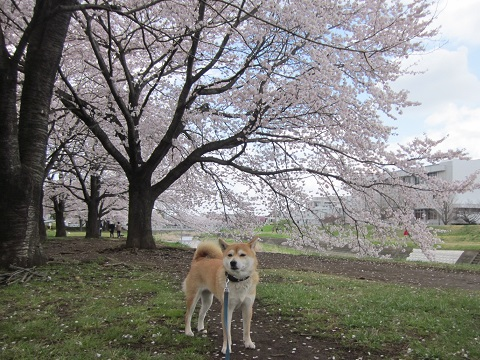14桜24