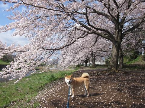 14桜22