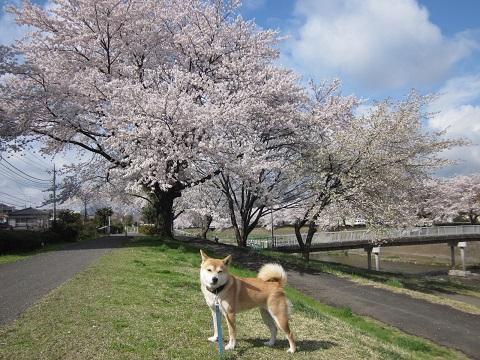 14桜21