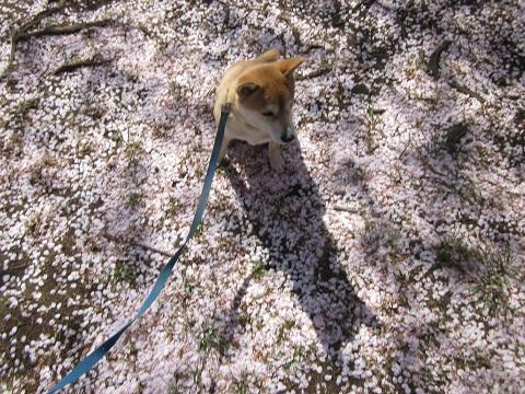 14花吹雪2