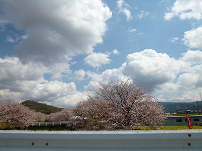 0406sizuokasakura.jpg
