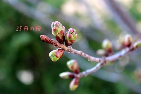 25日の桜