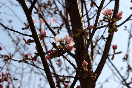 26日の桜咲いた