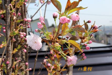 八重桜開花
