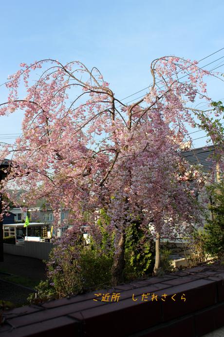 ご近所の枝垂れ桜
