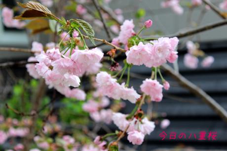今日の八重桜
